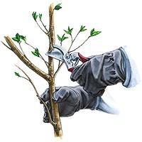 آموزش هرس درختان سیب
