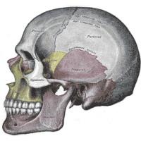 آناتومی اسکلت بدن انسان بر مبنای مدل اسکلت استاندارد